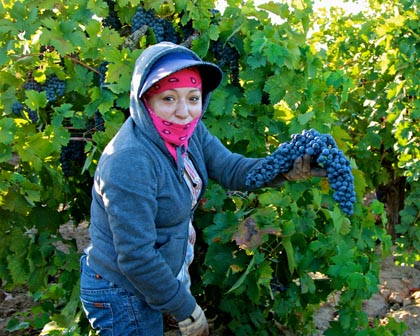 2013 harvest at Stellina estate