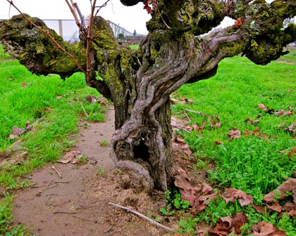 Ancient (100+ years), dry farmed Noma Ranch vine