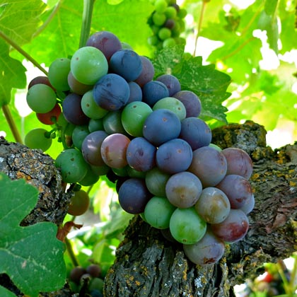 July 15: typical of Zinfandel plantings throughout Lodi, this cluster is in the midst of veraison (colors turning from green to purplish reds and blues)