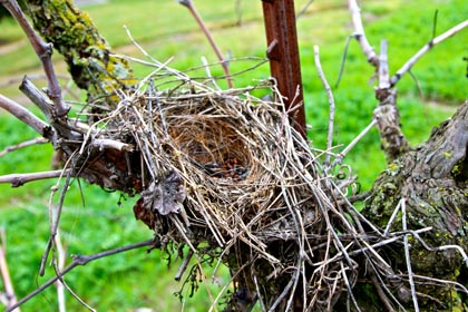 January: abandoned bird nest on bared vines