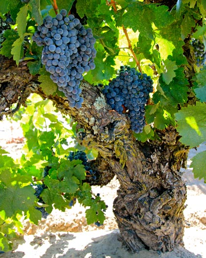 Mid-July: ripening Carignan on gargantuan plant in Jean Rauser's 107-year vineyard, going into perfumed, earthy/scrubby red wines handcrafted by wineries like McCay and Odisea