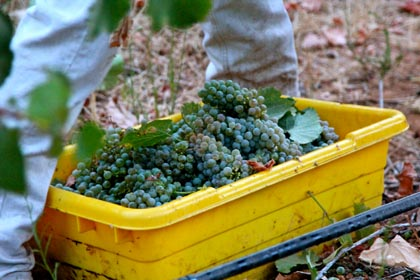 August 19: Albarino harvest in Bokisch Ranches' Vista Luna Vineyard