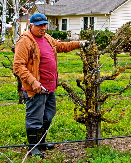 First week of February: pruning of old vine Zinfandel
