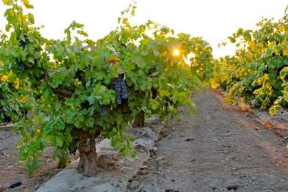 September 10: morning sun peeking through 55-year old Zinfandel in Maley's Wegat Vineyard, just before being picked