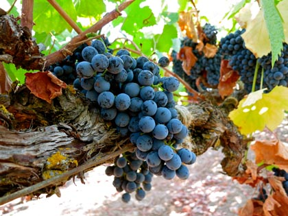 Mid-September: Alvarehao — a Portuguese variety that produces both table reds and fortified sweet reds — in Silvaspoons Vineyards; still about three weeks to go before harvest