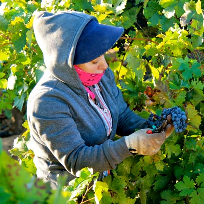 End of August: Stellina Zinfandel harvest (Lodi's west side)