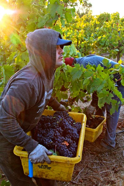 Heavenly light of breaking morning over Lizzy James Zinfandel picker