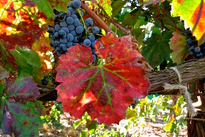 Mid-September red leaf: typical of 2013, this Silvaspoons Tannat developed earlier than usual leaf coloring