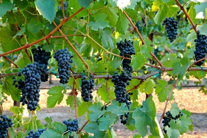 Mid-September musical Syrah: like notes on a bar, perfect clusters of Syrah growing on open-canopy trellis in Abba Vineyard