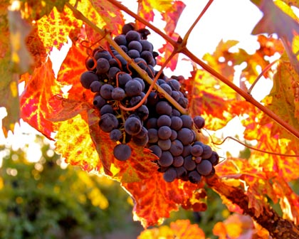 End of September: west side Zinfandel wrapped in fiery leaves and alien-like red tendrils