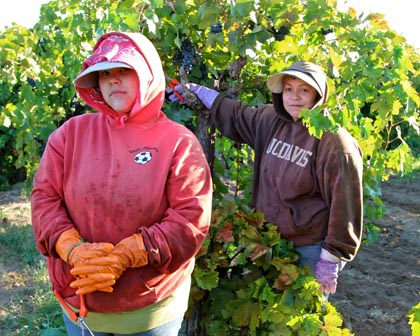 Two of Round Valley Ranches' meticulous all-women picking crew in Stellina estate