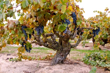 Early October: meager crop on this classic, ancient, wizened (planted 1920s) Alicante Bouschet in Borra Vineyards' Church Block, which will be field crushed with Barbera, Petite Sirah and Carignan to produce Borra's acclaimed