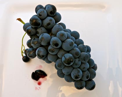 Alicante Bouschet is a rare