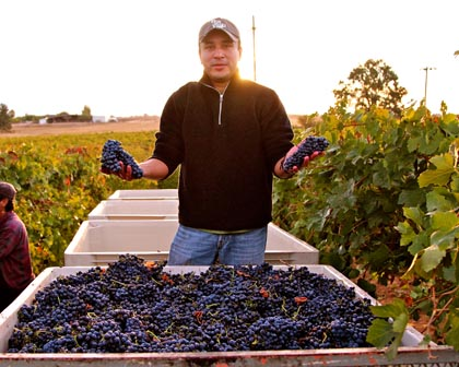 Mid-October: Vinedos Aurora's Gerardo Espinosa harvesting his family's estate grown Petite Sirah