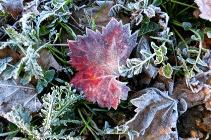 Freeze-dried Zinfandel leaf during a week of early December frost