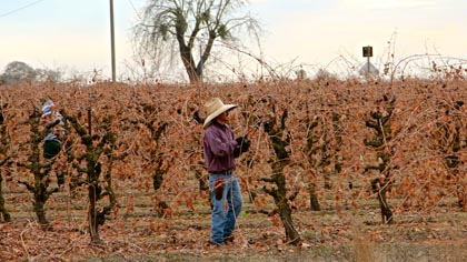 Mid-December pruning of nearly naked Zinfandel on Lodi's west side