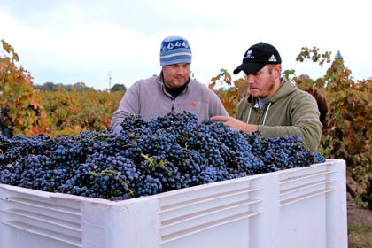 Tegan Passalacqua (left), harvesting Kirschenmann Zinfandel for Turley Wine Cellars