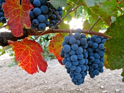 The near forgotten Charbono grape