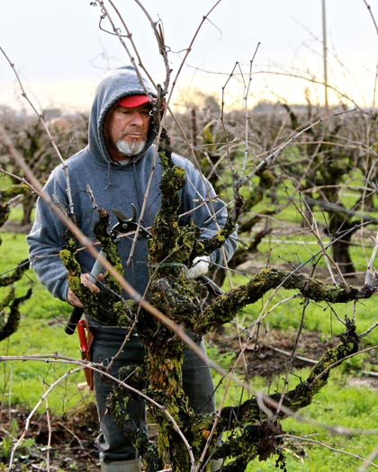 Winter pruning of own-rooted, head trained 53-year old Zinfandel vines on the west side of Lodi's Mokelumne River AVA
