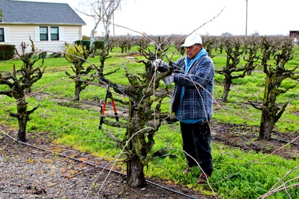 End of February: winter pruning of Lodi's +100,000 acres goes on… and on
