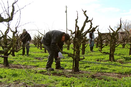 Winter pruning of old vines includes reaching back breaking lower limbs