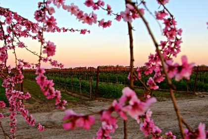Late February: Phillips Farms peach blossoms framing trellised Petite Sirah