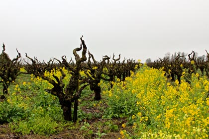 After the first rains of February, wild mustards immediately spring up among the ancient Zinfandel vines