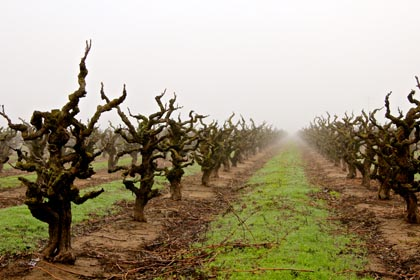 Early February fog among old vine Zinfandel in Maley Brothers' Wegat Vineyard