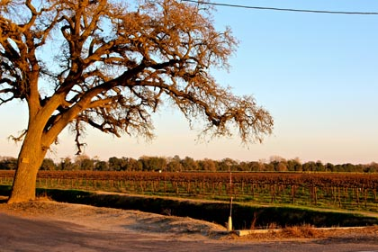 Golden late afternoon light on ancient oak in west side of Lodi in late February
