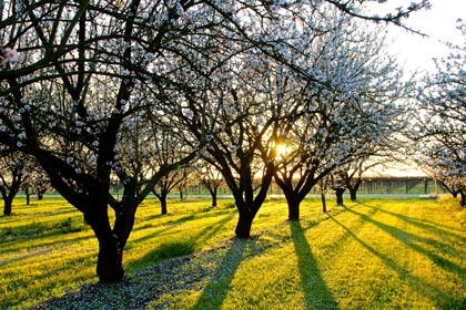 Late February:  setting sun through showering cherry trees and trellised vines on Lodi's west side