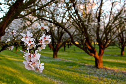 Another close-up of flowering cherry trees in Lodi