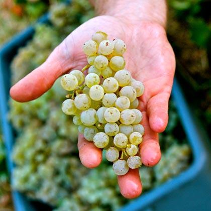 2013 Mokelumne Glen Vineyard Kerner cluster, going into Borra's Artist Series white