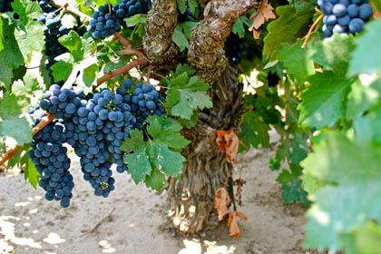 98-year old Soucie Vineyard vine