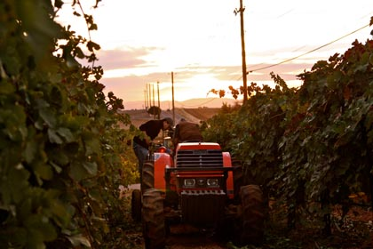 2013 harvest at Vinedos Aurora estate