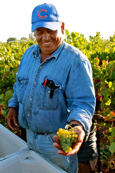 2013 Verdelho harvest in Lodi's Silvaspoons Vineyards