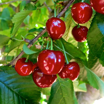 Lodi grown bing cherries
