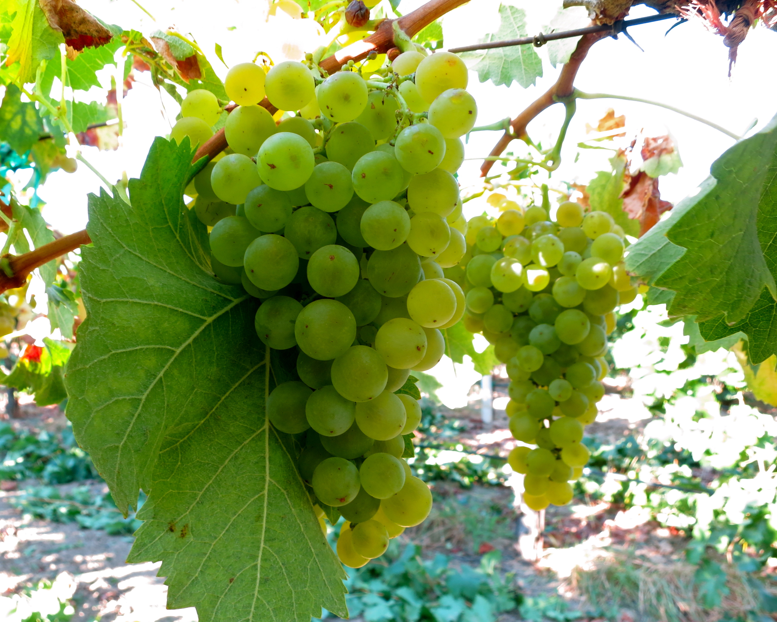 Silvaspoons Vineyards 2014 Torrontes