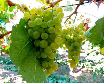 Silvaspoons Vineyards 2014 Torrontes
