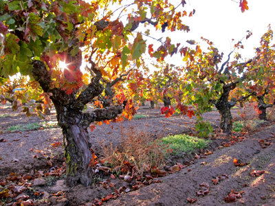 Autumn in Lodi's acclaimed Bechthold Vineyard