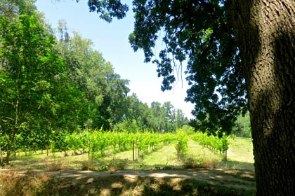 Mokelumne Glen Riesling block along the banks of Mokelumne River
