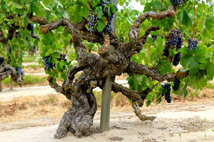 "Majestic, own rooted ""old man"" Lodi Zinfandel (planted in 1901) in Mohr-Fry Ranches' Marian's Vineyard"