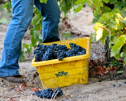 Zinfandel harvest in Lodi's Lizzy James Vineyard