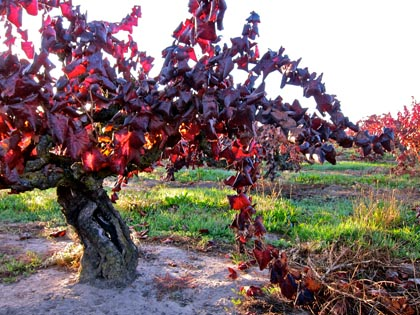 The blindingly scarlet colors of Mohr-Fry Ranches Alicante Bouschet in 2012, just before being uprooted