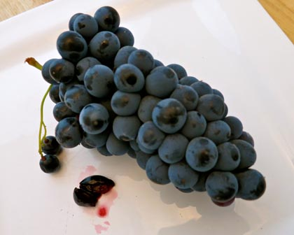 The red pulp of Alicante Bouschet