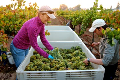 Daybreak, September 6: consulting winemaker Heather Pyle (left) sorting through Acquiesce Vineyards Piquepoul Blanc pick