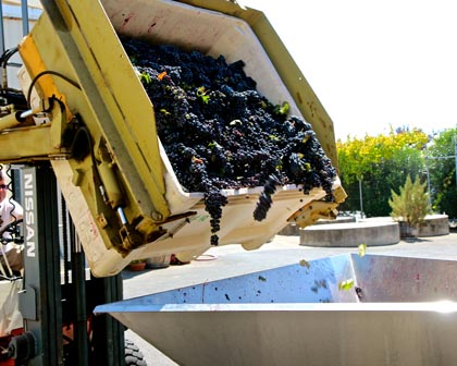 Marian's Vineyard Zinfandel going into destemmer in St. Amant Winery