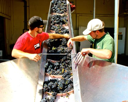 St. Amant crew doing final sorting of Marian's Vineyard grapes