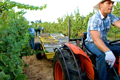 August 29: Mokelumne Glen Vineyard Gewurztraminer harvest for Borra Vineyards