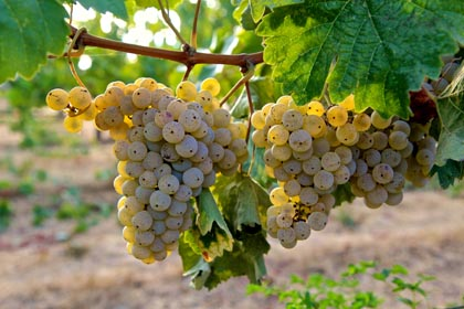 Rare, zesty, minerally Kerner grapes in Mokelumne Glen Vineyard