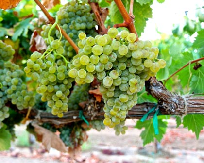 Rare, lemony crisp Piquepoul grapes in Acquiesce Vineyards
